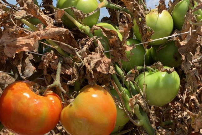 Tomatoes are left on the vine to rot in fields south of Miami in March because the restaurants and hotels for which they they were grown had closed due to the coronavirus pandemic. Photo courtesy of Tony DiMare/DiMare Fresh