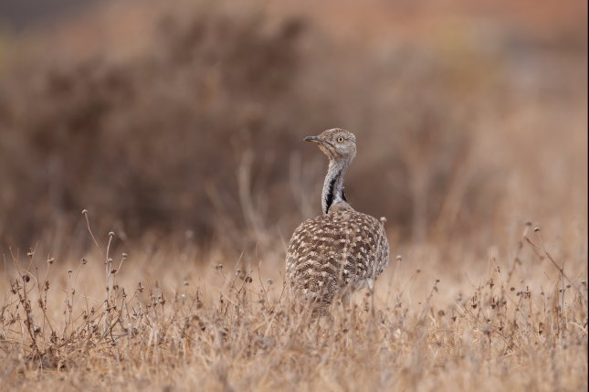 The houbara bustard is an endangered migratory bird found in North Africa and the Arabian Peninsula. Photo by Johannes Dag Mayer/Shutterstock