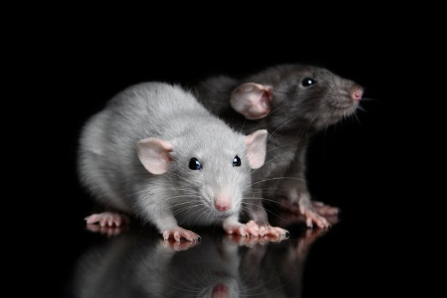 Scientists used gene drive technology to increase the odds of mice offspring inheriting the gene sequence that causes black fur. Photo by Anna Tyurina/Shutterstock