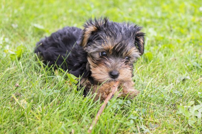 A Yorkie puppy. Photo by Chiyacat/Shutterstock.com