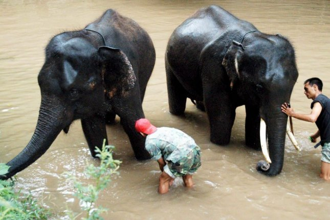 Asian elephants native to Yunnan Province, China, have been wandering the region for months. File Photo by NIU YX/EPA