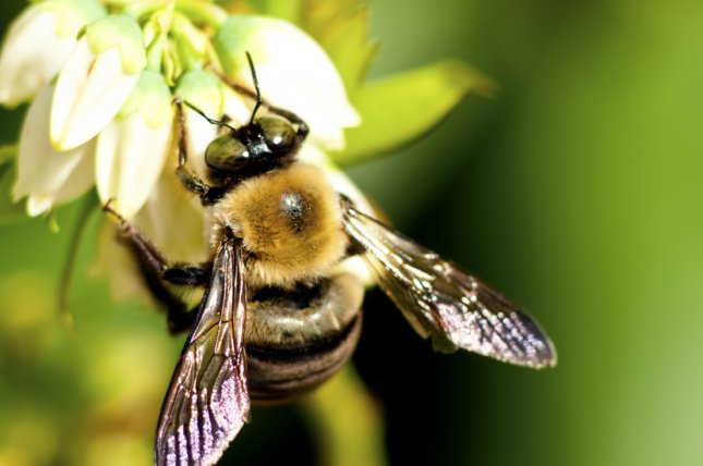 Bees suffer reproductive problems from even small amounts neonicotinoid insecticides, researchers said in a study published Monday. File Photo by Betty Shelton/Shutterstock
