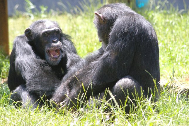 If chimpanzees that grow up in captivity reach adulthood, 12 years of age, they typically live to be 40. Photo by Chimp Haven/UPI