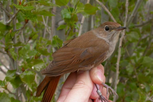 New research shows that climate change may be affecting the wing shape of nightingales, making them less able to complete their annual migration. Photo by Javier de la Puente