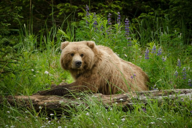 Despite spending most of the winter asleep, grizzly bears don't suffer from muscle atrophy. File photo by David Rasmus/Shutterstock