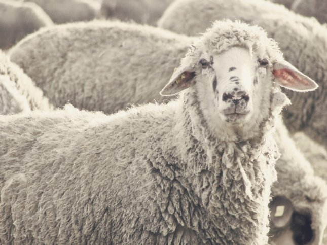 Swansea County Councillor Ioan Richard warned that a herd of sheep could wreak havoc on local residents after ingesting cannabis left behind from an illegal cannabis factory in a Welsh town. According to Richard, a flock of sheep had already reportedly been seen breaking into several homes and gardens. File photo by danielo/Shutterstock