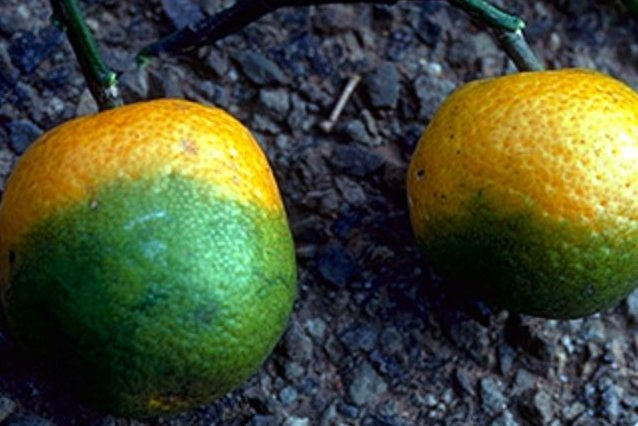 Oranges show signs of citrus greening disease. Photo courtesy of the U.S. Department of Agriculture