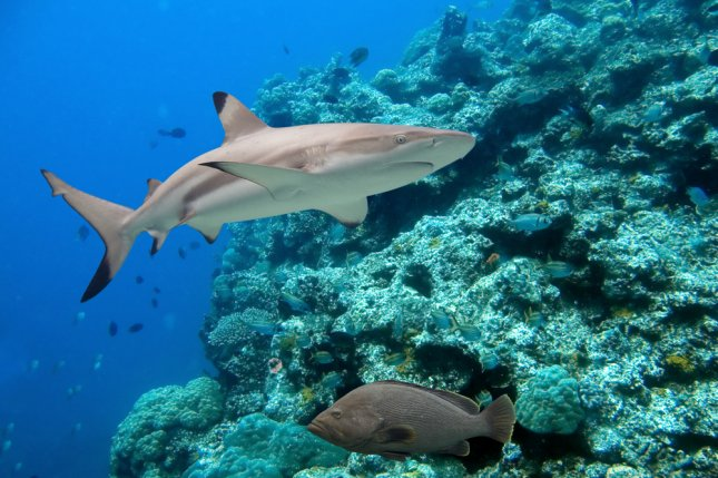 Fewer sharks equals fatter fish, research shows - UPI com