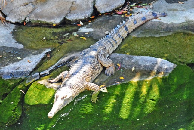 Crocodile species haven't evolved much of the last 200 million years, at least partially because their environments didn't force them to change, researchers say. Photo by Heather Paul/Flickr