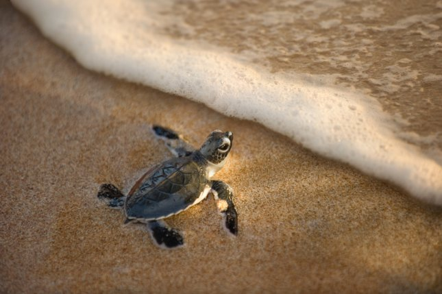 A newly hatched sea turtle makes its way toward the water. Photo by beltsazar/Shutterstock