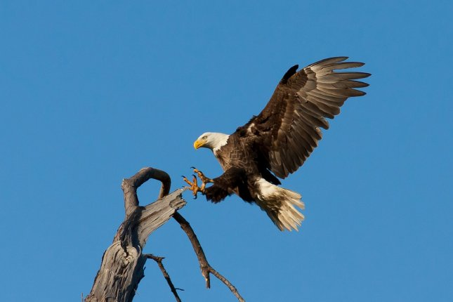 Researchers have identified a cyanobacterium as causing deaths of bald eagles in the southern U.S., but more work needs to be done to figure out how to eradicate it from invasive aquatic plants. Photo by skeeze/Pixabay