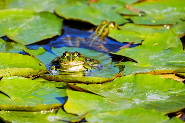 Researchers say that the overall population of amphibians -- which includes frogs -- has experienced declines in the last 50 years. Photo by Couleur/Pixabay