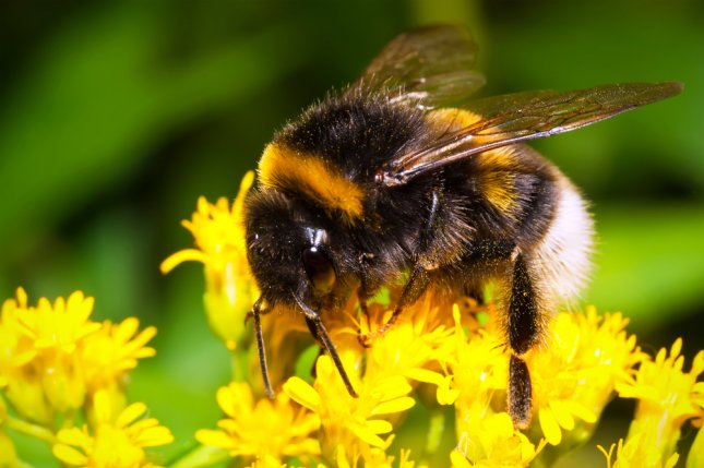A new study found bumblebees to have high concentrations of aluminum. Photo by Sailorr/Shutterstock
