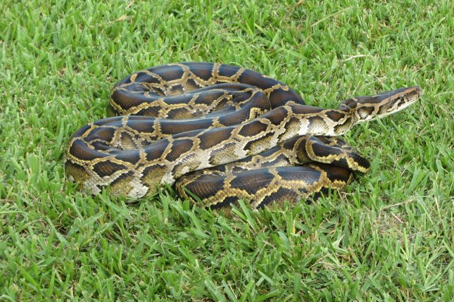 A python was reported on the loose in West Virginia, just four months after a larger python escaped elsewhere in the state. File Photo by Susan Jewell/USFWS