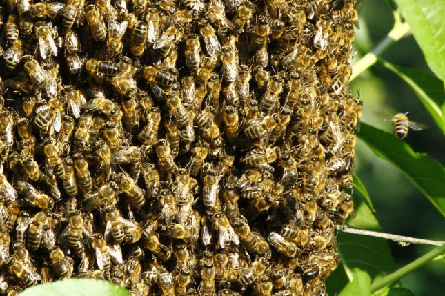 A Spanish couple discovered 80,000 bees had been living in their bedroom wall. File Photo by Damian Ryszawy/Shutterstock
