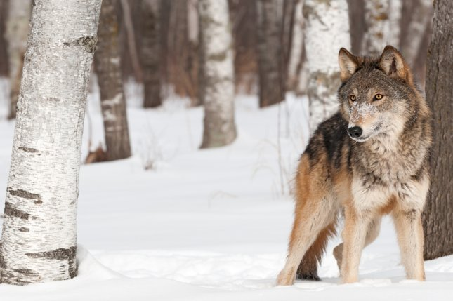 The shooting deaths of two beloved gray wolves in Yellowstone National Park has some calling for a safety net around the park. Photo by Geoffrey Kuchera/Shutterstock/UPI