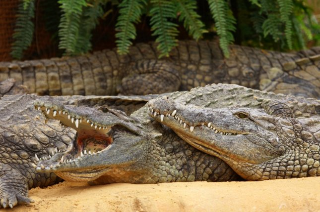 A group of large crocodiles. The head of Indonesia's National Narcotics Agency wants drug trafficking offenders to be placed in a prison surrounded by crocs. KateChris/Shutterstock.com