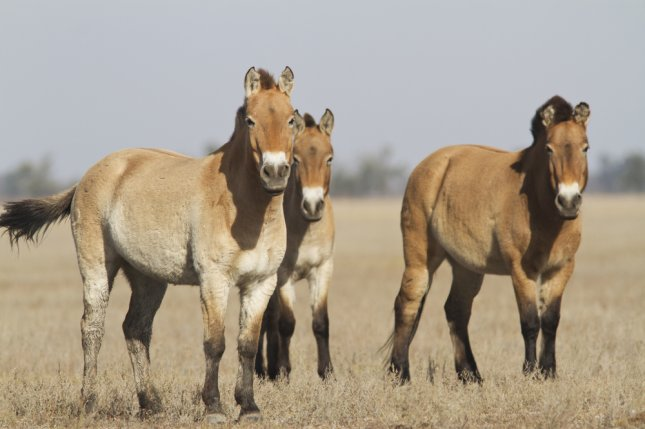 Przewalski's horses, the last wild horses, on the Ukrainian steppe. Photo by Dmytro Pylypenko/Shutterstock