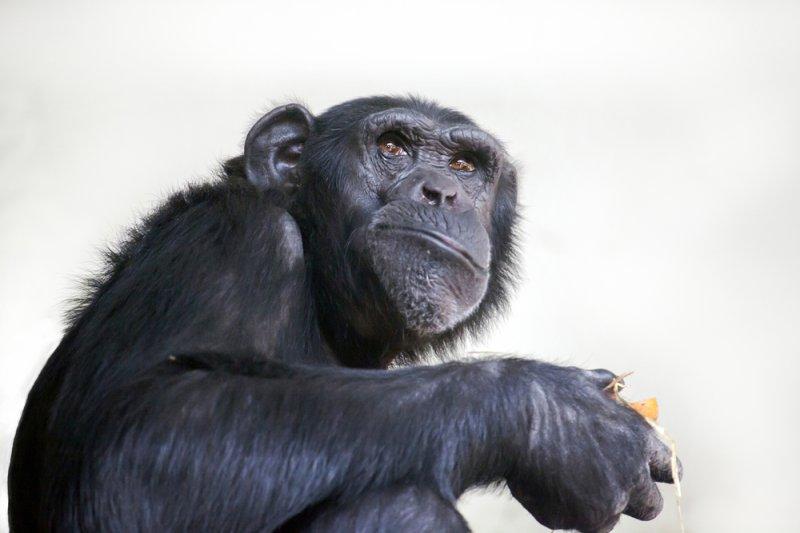 A chimpanzee chews its food. Photo by Edwin Butter/Shutterstock