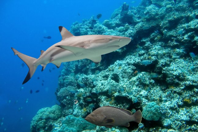 Oceans are losing oxygen at a rapid clip, threatening numerous species of fish, including sharks, tuna and marlins. Pictured here is blacktip reef shark. Photo by Ian Scott/Shutterstock