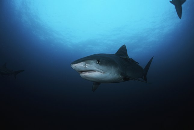 New research shows coastal and deep ocean sharks engage in distinct feeding patterns. Photo by UPI/Shutterstock/bikeriderlondon