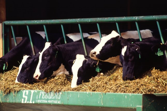Holstein dairy cows keep producing milk, even if supply exceeds demand. Photo by Scott Bauer/USDA Agricultural Research Service