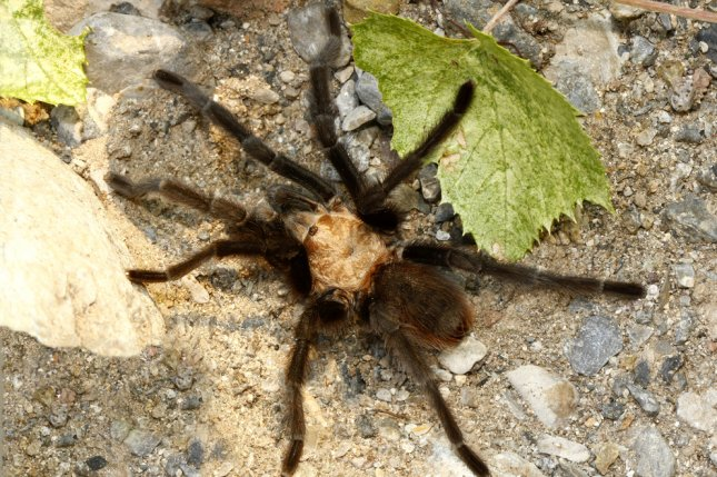 Not one, but two tarantula spiders terrorized passengers of a recent Air Transat flight en route from the Dominican Republic to Canada. Photo by Steve Bower/Shutterstock