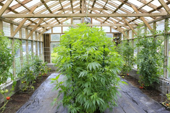 Cannabis plant growing in a greenhouse. Photo by Iriana Shiyan/Shutterstock.