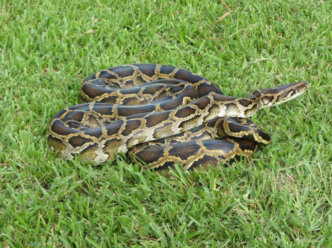 This Burmese python was captured in Everglades National Park in South Florida, where the invasive snakes have established a large breeding population. Photo by Susan Jewell/USFWS