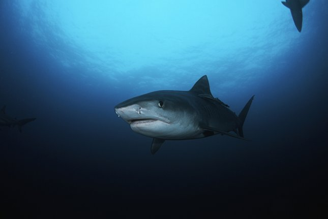 Scientists are arguing against the use of shark culls in Australia. Photo by UPI/Shutterstock/bikeriderlondon