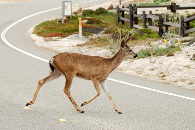 A young buck crosses a road. Photo by Dorn1530/Shutterstock.com