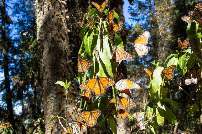 Two activists at one of Mexico's largest monarch butterfly sanctuaries have been found dead within a week. Photo by Alianza-WWF-Telcel/EPA-EFE