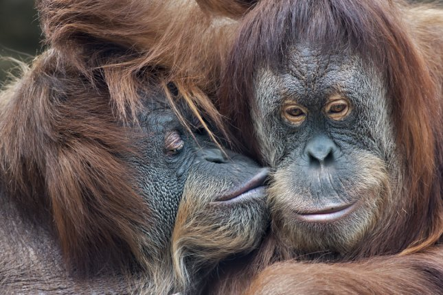A mother orangutan kisses her adult daughter. Dutch zoo Apenheul primate park has launched a program known as Tinder for orangutans to help increase the chance of getting their females to breed. The zoo's 11-year-old female will select a prospective male by selecting photos from a tablet.