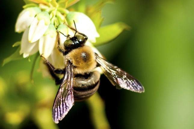 Fungicides used on almond farms may also pose a significant danger to bees, even when used properly, according to a new study from researchers at Texas A&M University. Pictured, a bee on a blueberry bloom. Photo by Betty Shelton/Shutterstock