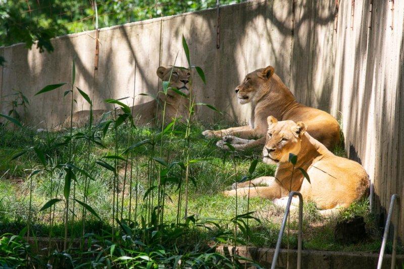 Three adult female lions named Shera, Amahle and Naba at the Smithsonian's National Zoo. Photo Courtesy of Smithsonian National Zoo