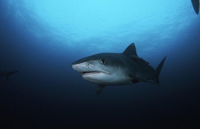 A tiger shark. Shutterstock/bikeriderlondon