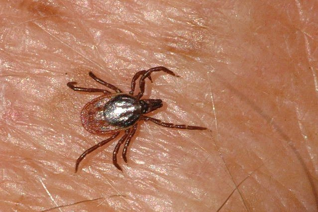 As many as 500,000 people are diagnosed with Lyme disease annually in the United States, the CDC said, even if they may be suffering from another illness. Photo by James Lindsey/Ecology of Commanster/Wikimedia