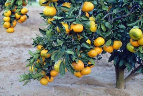 Satsuma mandarin oranges like these were approved for import to the United States starting in April, but growers in Florida oppose the decision. File Photo courtesy of University of Florida