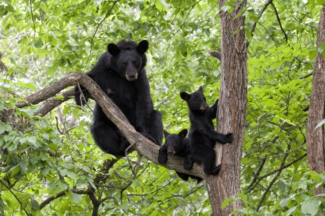 A mother black bear and her two cubs. Photo by Debbie Steinhausser/Shutterstock