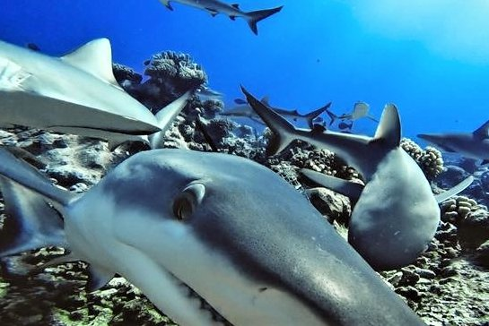 A global survey of reef sharks, like these shown here, found they are functionally extinct on nearly 20% of the world's reefs, but healthy populations still exist where protective laws are enforced. Photo courtesy of Global FinPrint