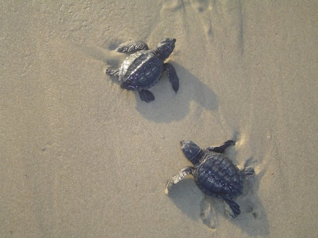 Nearly 100 sea turtles have washed up onto Florida shores, including more than 50 dead since the start of a red tide algae bloom in October, Florida wildlife officials said. File Photo by National Park Service/U.S. Department of the Interior/Facebook