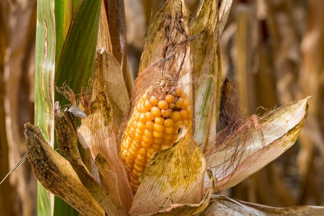 About 4,300 premature deaths occur each year in the United States due to environmental damage brought on by corn production. Photo by minka2507/Pixabay