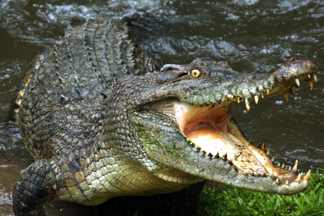 An Australian crocodile like this one jumped out of the water when it noticed a tasty-looking camera drone overhead. Photo by Audrey Snider-Bell/Shutterstock.com
