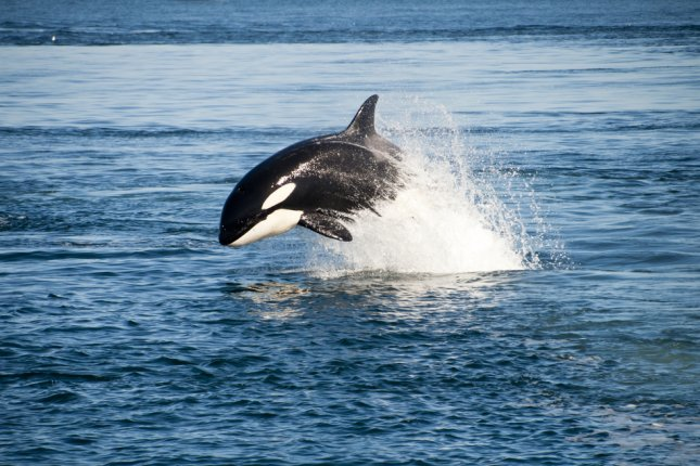 SeaWorld said a 30-year-old female orca died early Monday after showing discomfort for a few days. Photo by Shutterstock/gingging/UPI