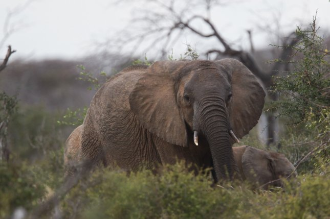 In Africa, there is a surprising amount of usable habitat, but due to poaching threats, elephants only utilize a small percentage. File Photo by Daniel Irungu/EPA