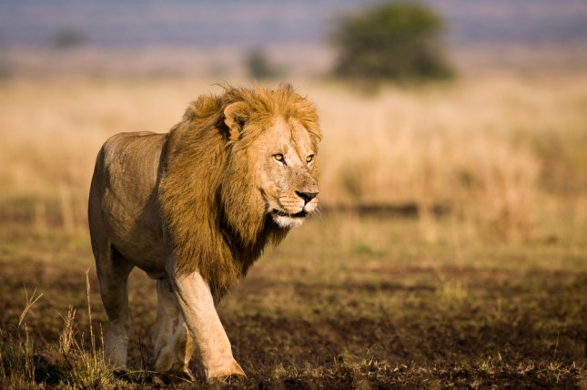 A lion at the Maasai Mara National Reserve in Kenya. A lion was shot and killed after killing an employee at the Conservators Center in Burlington in Caswell County File Photo by Bartosz Budrewicz/Shutterstock