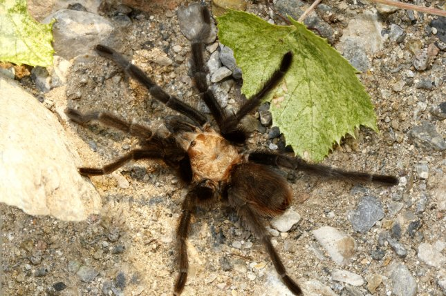 During the spiders' annual mating season, thousands of the hairy, brown creatures can be found scurrying across the rocky surface of La Junta, Colo., located about three hours south of Denver.File Photo by Steve Bower/Shutterstock/UPI