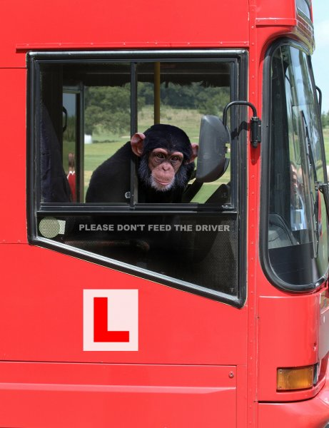 A chimpanzee behind the wheel of a bus. Photo by EML/Shutterstock.com