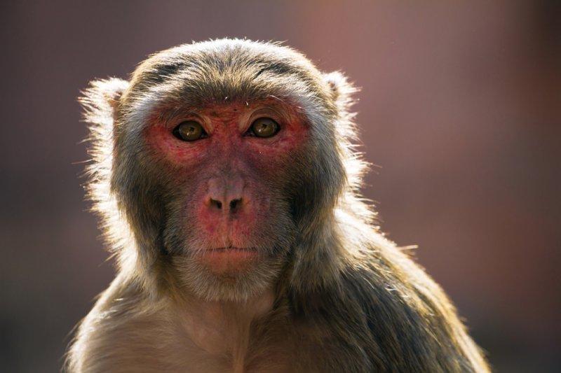 A rhesus macaque monkey (Macaca mulatta). Photo by Alexander Mazurkevich/Shutterstock