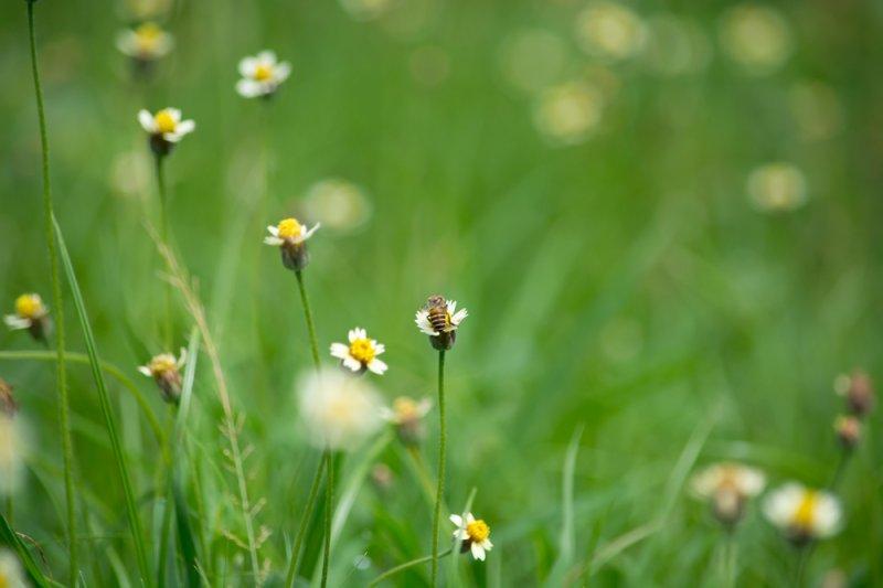 A bee collects pollen from a grass flower. (UPI/Shutterstock/KatePhotographer)